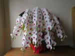 紅白胡蝶蘭8本立